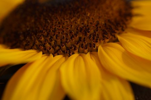 sun flower yellow close