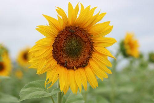 sun flower sun s