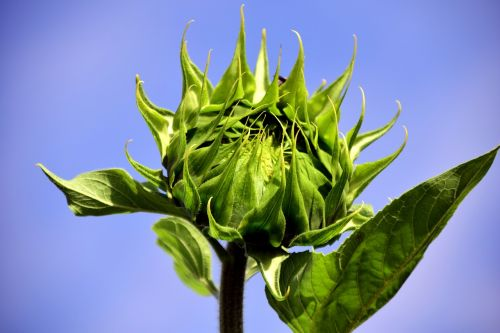 sun flower bud sunflower bud