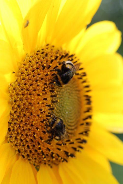 sun flower bumblebees plant