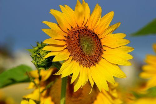 sun flower sun sky