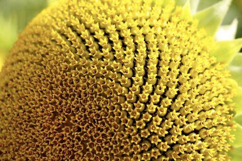 sun flower pollen blossom