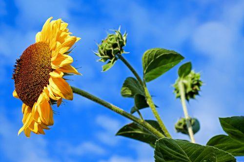 sun flower flower flowers