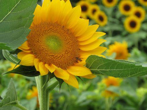 sun flower sun flower garden singapore