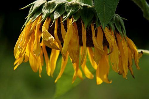 sun flower blossom bloom
