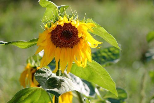 sun flower wild yellow
