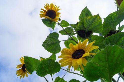sun flower garden helianthus