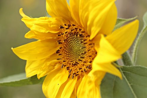 sun flower helianthus small sun flower
