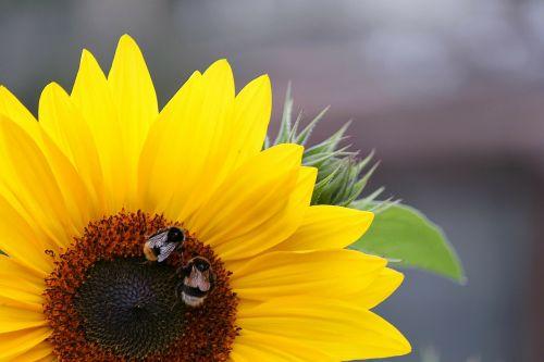 sun flower macro blossom