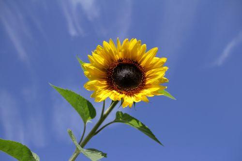 sun flower summer flower