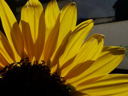sun flower autumn yellow