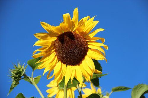 saulės gėlė,žiedas,žydėti,gėlė,augalas,geltona,mėlynas,gamta,spalvinga,spalva,helianthus annuus,helianthus,kompozitai,asteraceae