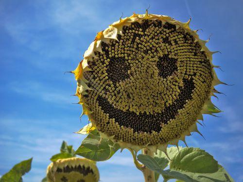 saulės gėlė, juoktis, veidas, vasara, gėlė, geltona, saulės šviesa, šypsena, žiedas, be honoraro mokesčio