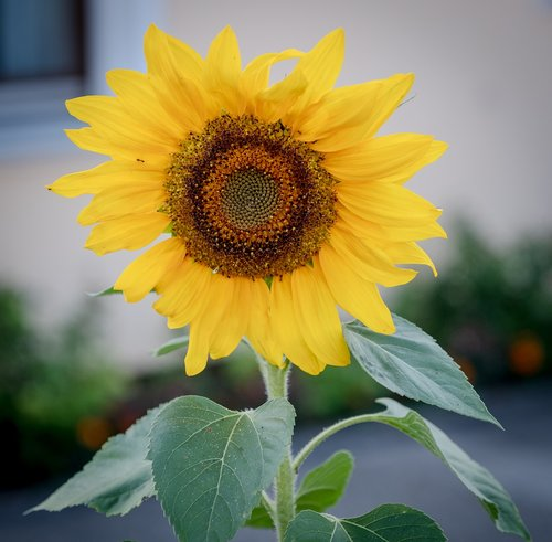 sunflower  bloom  summer