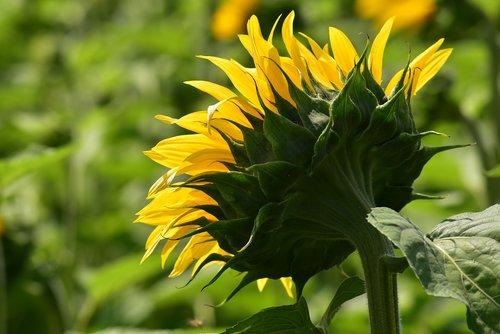 sunflower  bright  blossom