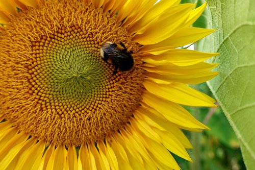 sunflower  hummel  summer