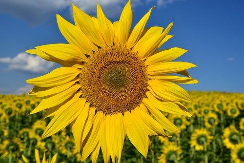 sunflower  close up  nature