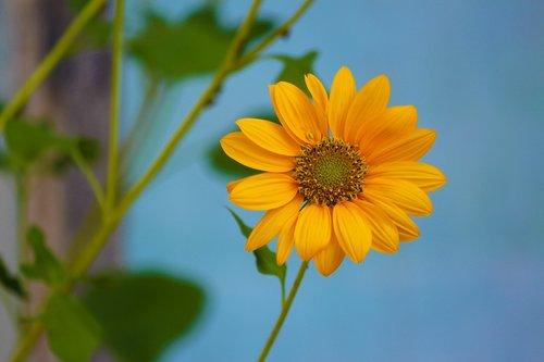 sun flower  yellow flower  bloom