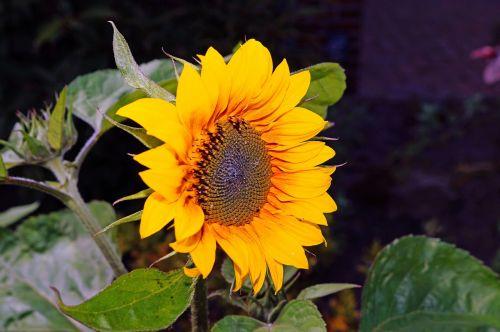 sun flower tongue flower yellow