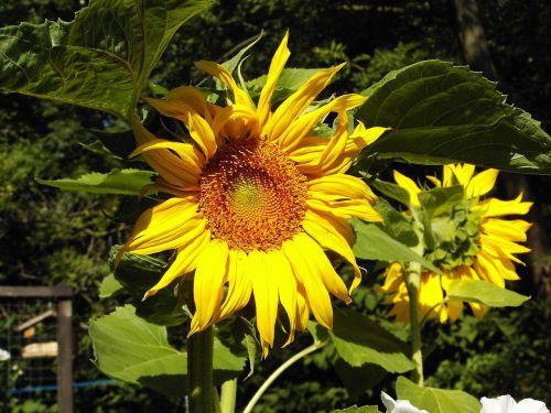 saulės gėlė,sodas,vasara