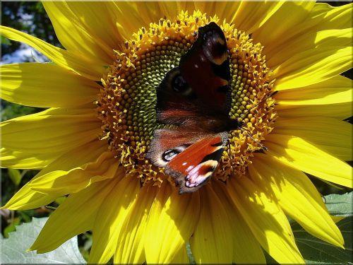 sun flower butterfly enlarge view