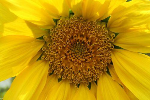 sun flower yellow blossom