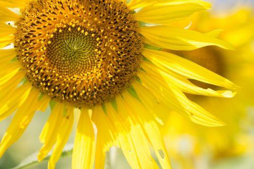 sun flower sunny sun