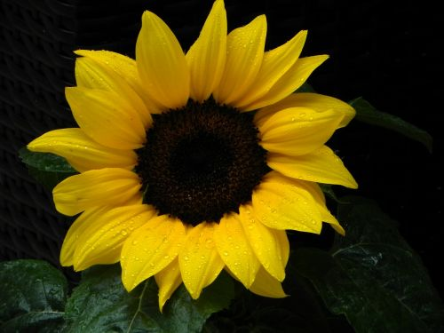 sun flower flower sun