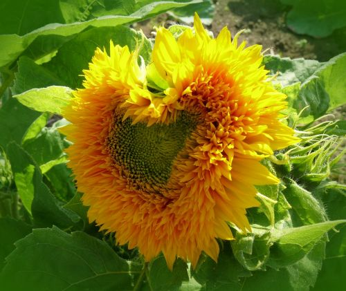 sun flower heart heart shaped