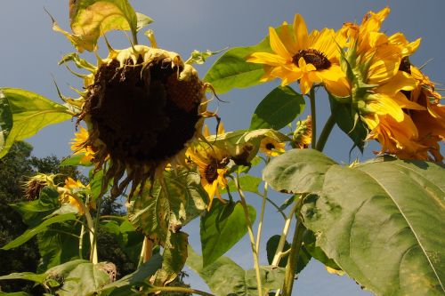 sun flower drought dry