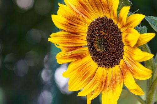 sun flower helianthus annuus macro