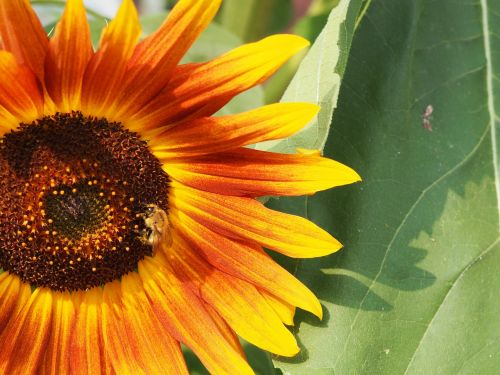 saulės gėlė, Hummel, gamta, geltona, gėlė, žiedas, žydėti, apdulkinimas