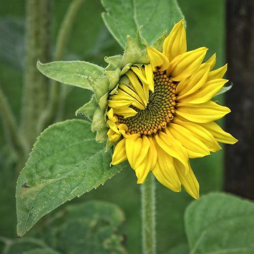 sun flower helianthus plant