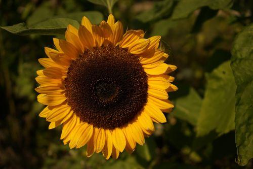 sun flower yellow summer
