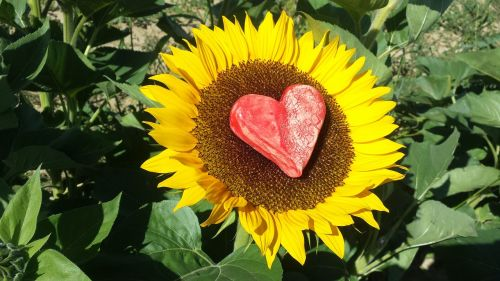 sun flower heart love