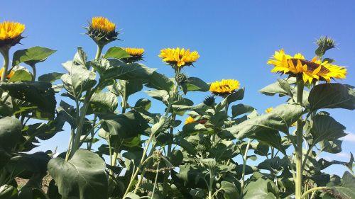 sun flower sunflower field sky