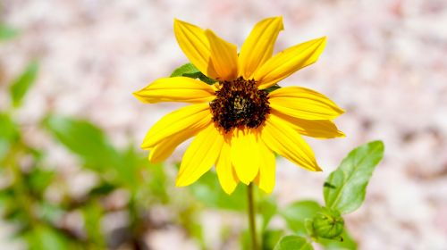 Sun Flower With Stem