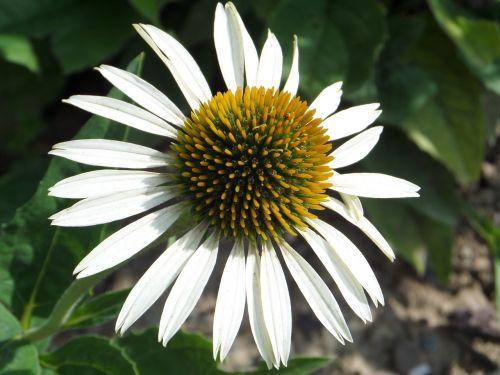 sun hat flower white