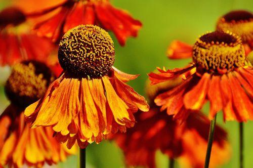 sun hat echinacea purpurea summer