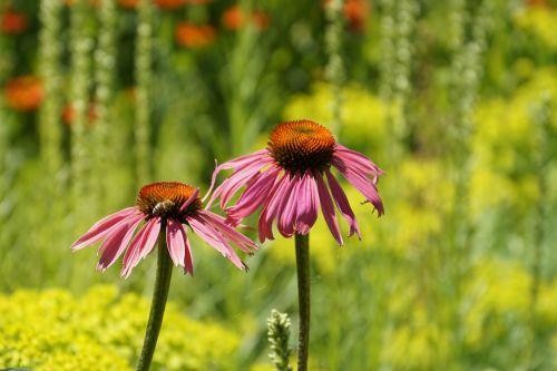 sun hat echinacea flower