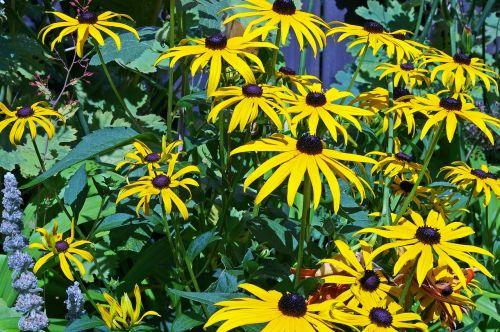 sun hat shrub yellow coneflower