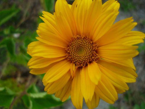 sun hat yellow flower cultural meadow
