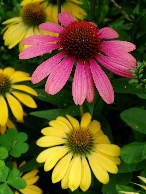 sun hat echinacea purpurea translucent sonnenhut