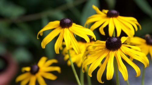 sun hat summer flowers shining coneflower