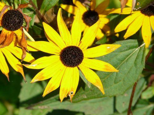 sun hat ordinary sonnenhut rudbeckia fulgida
