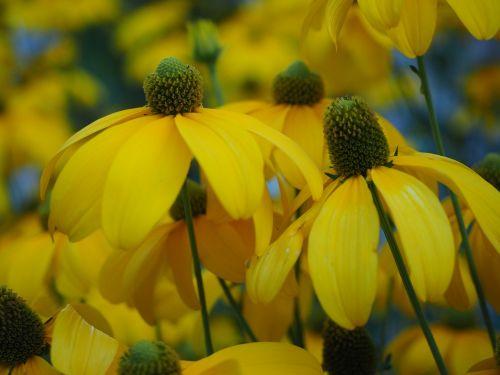 sun hat flower plant
