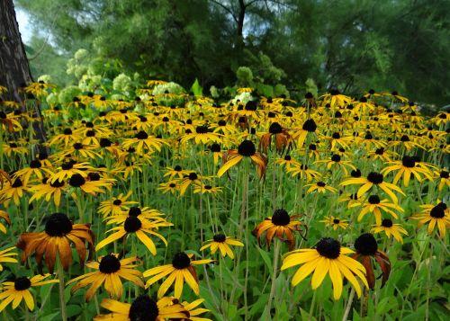sun hat rudbeckia fulgida basket flower greenhouse