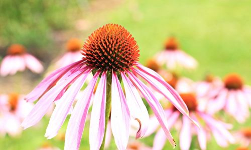 sun hats hedgehog heads echinacea