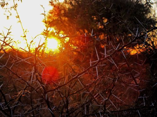 Sun On Thorn Bush