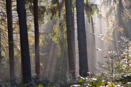 sunbeam forest firs